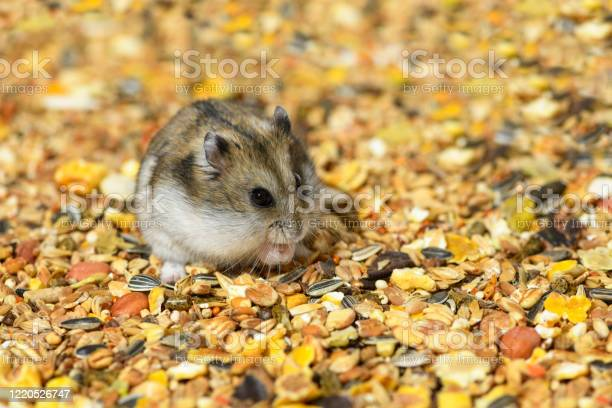 Photo of One Djungarian dwarf hamster is sitting on its hind legs and eating the dry food.