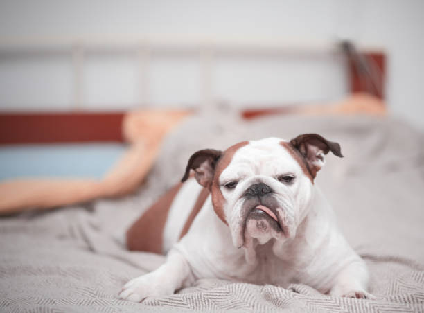 one dog, alone on owner's bed stock photo