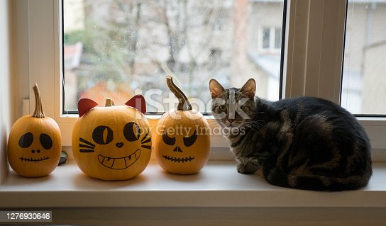 One domestic tomcat sitting on windowsill and waiting for halloween celebration with two winter pumpkins, painted frightening Jack-o'-lantern face, eye contact