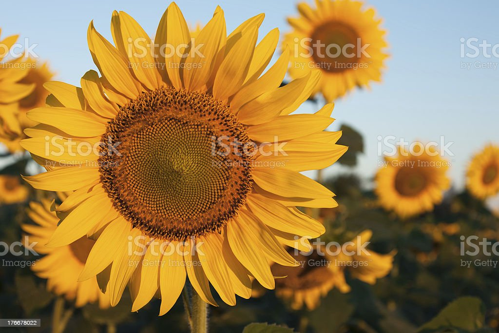 One dominant sunflower in the field of sunflowers royalty-free stock photo