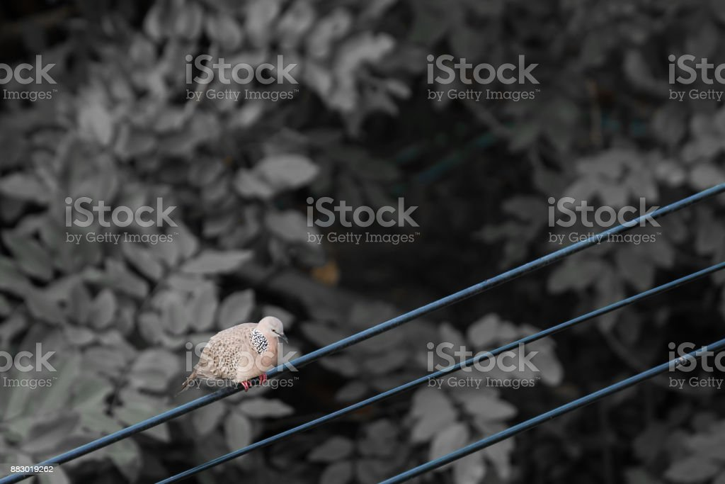 one Dove bird on the wire with tree leaves in background with...