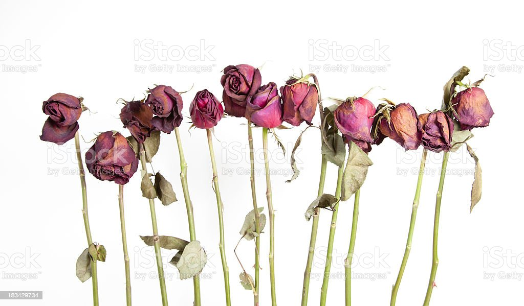 One Dozen Dried Roses stock photo