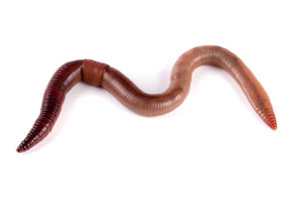 Bild Madenwurm