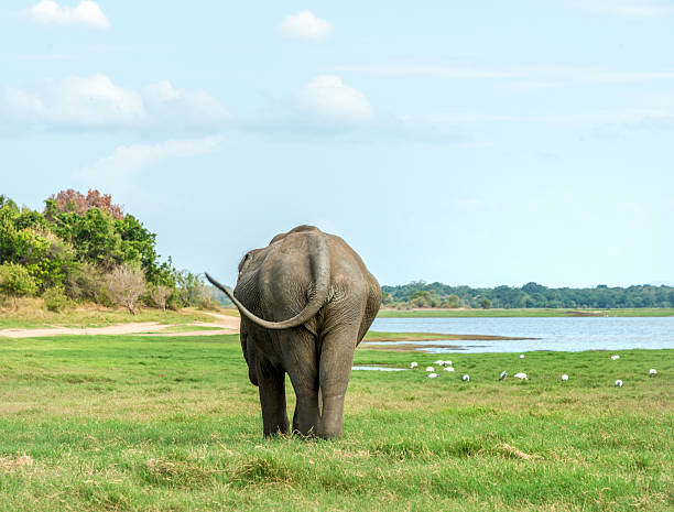 Royalty free big elephant ass pictures images and stock photos istock - Elephant assis ...