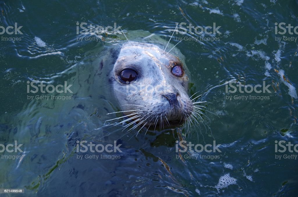 One eyed Harbour Seal waiting for a handout Lizenzfreies stock-foto