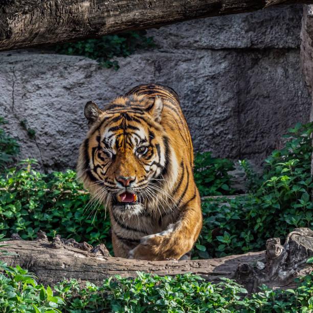 Um tigre-de-sumatra de olhos (Panthera tigris sumatrae) - foto de acervo