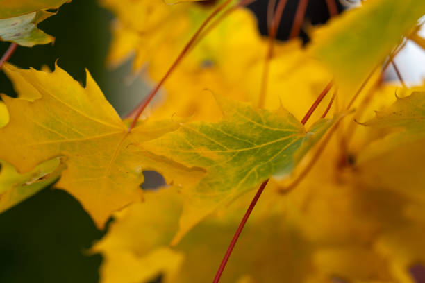One fall maple leaf on a branch.Macro stock photo