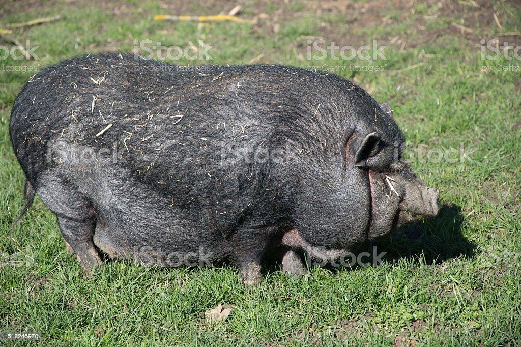 Gute schwarze Schweine Anal-Sex-Starter