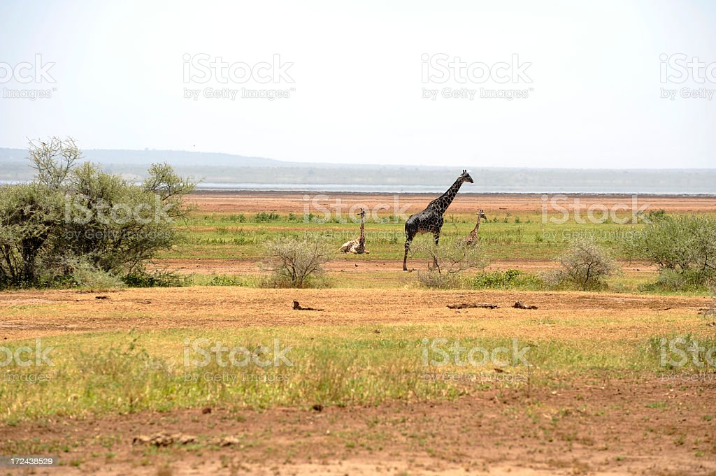 One female Giraffe with two babies royalty-free stock photo