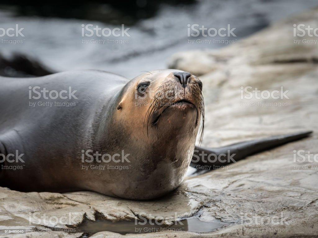 one female southern sea lion (Otaria flavescens) stock photo