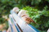One female sparrow sits on a park bench.