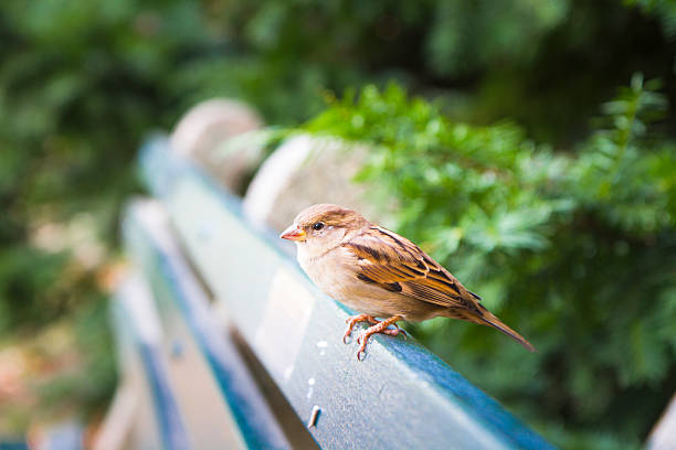 One female sparrow sits on a park bench stock photo