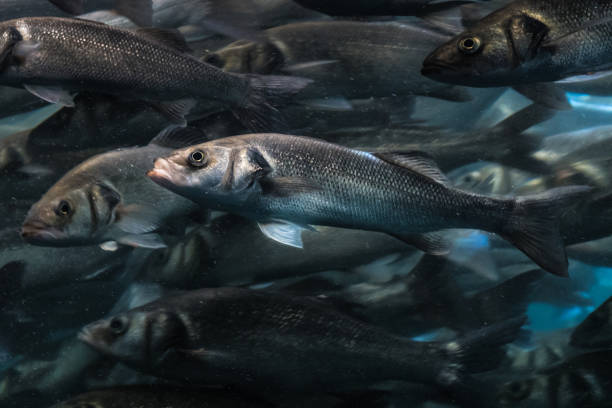 one fish in big fish swarm standing out of the crowd - herring stock photos and pictures