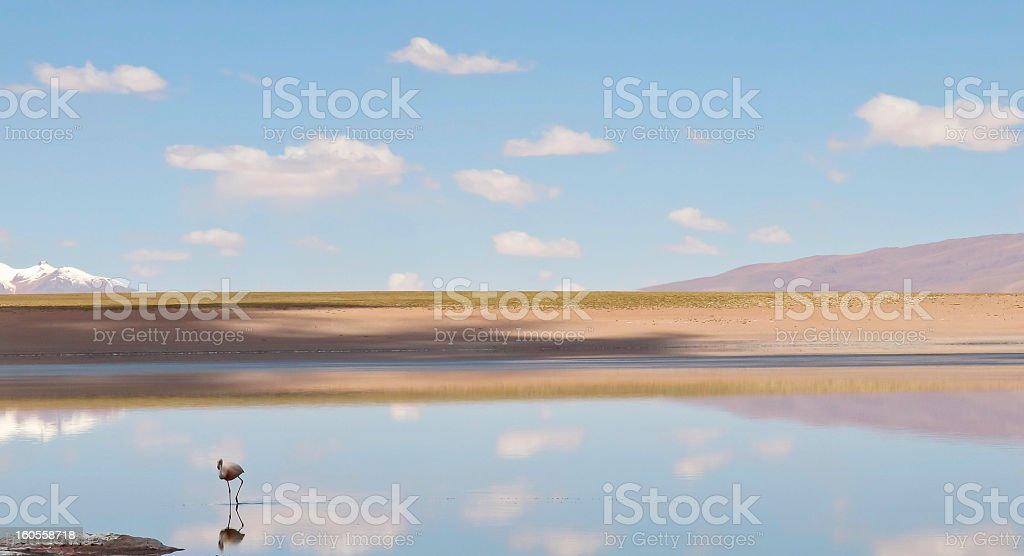 One Flamingo Walks Across Water in Bolivia royalty-free stock photo