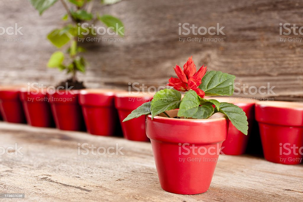 One flower in pot among many empty flowerpots royalty-free stock photo
