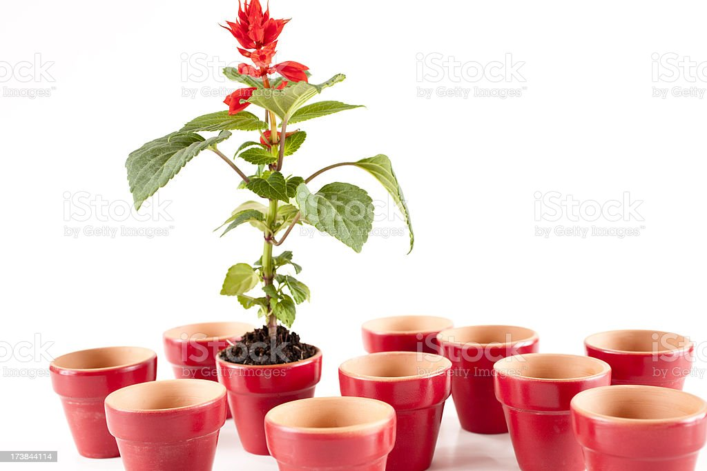 One flower in pot among many empty flowerpots white background royalty-free stock photo