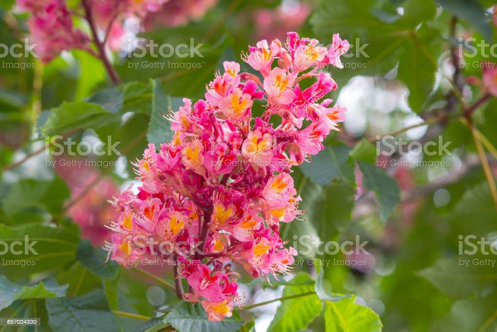 One flower of chestnut tree pink colour vertical on branch stock one flower of chestnut tree pink colour vertical on branch royalty free stock photo mightylinksfo