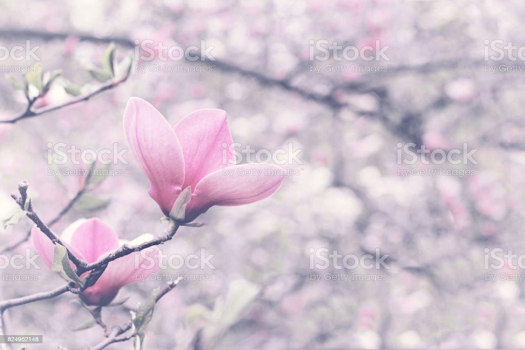 One Flower Of Magnolia Tree stock photo