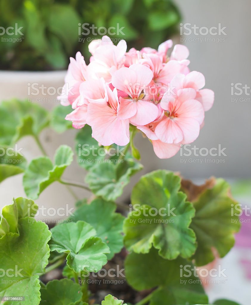 one flower pink geraniums in a flowerpot Lizenzfreies stock-foto