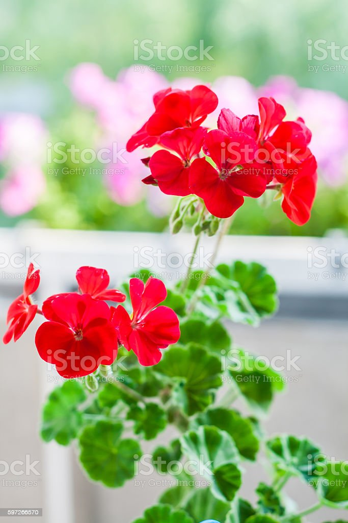 one flower red geraniums in a flowerpot royalty-free stock photo