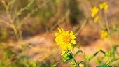 One flowering yellow chrysanthemum coronarium in desert