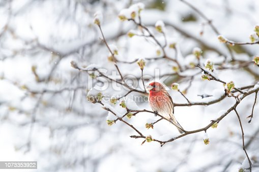 One fluffed up, puffed chest red male house finch bird perched on sakura, cherry tree branch covered in snow with buds during heavy snowing, snowstorm, storm in Virginia