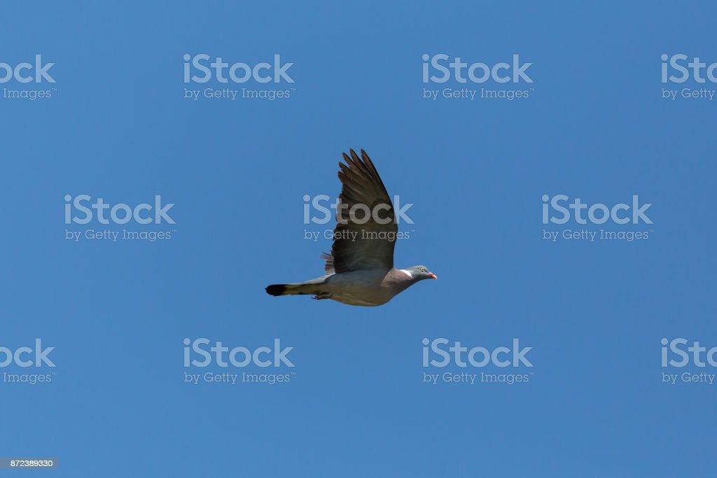 eine fliegende Ringeltaube Taube (Columba Palumbus) blauen Himmel – Foto