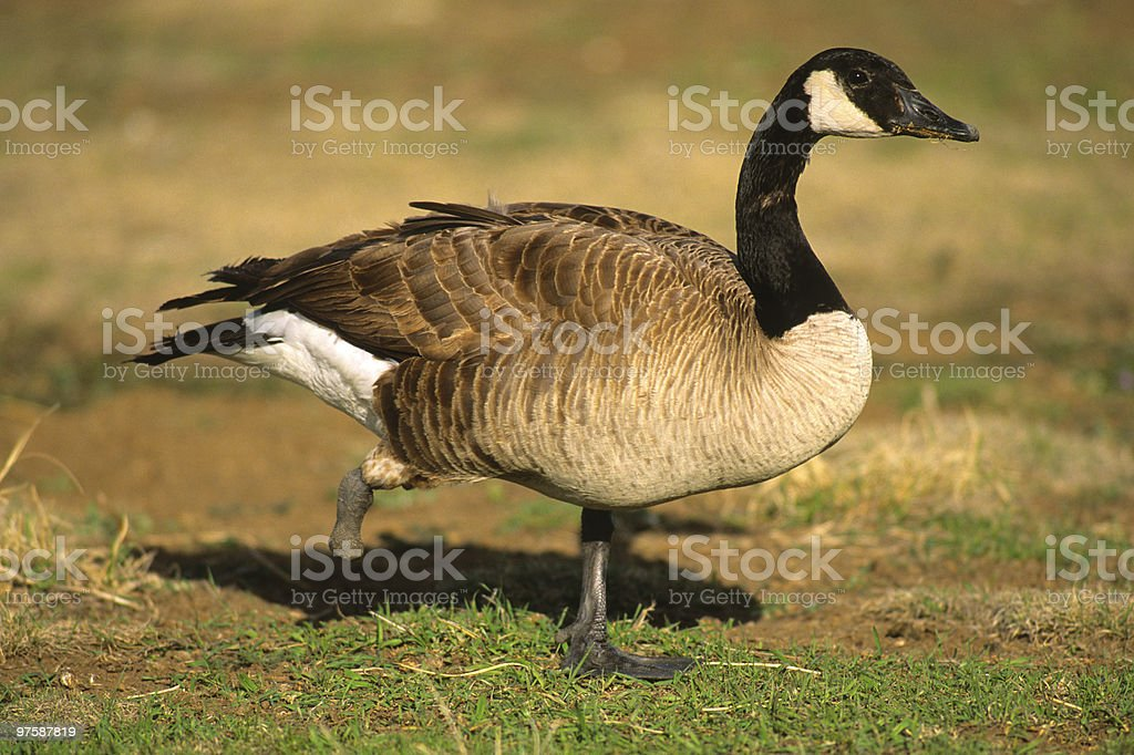 One Footed Canada Goose royalty-free stock photo