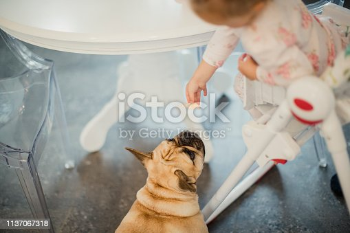 Young girl leaning over her high chair to feed her French Bulldog who is eagerly waiting below.
