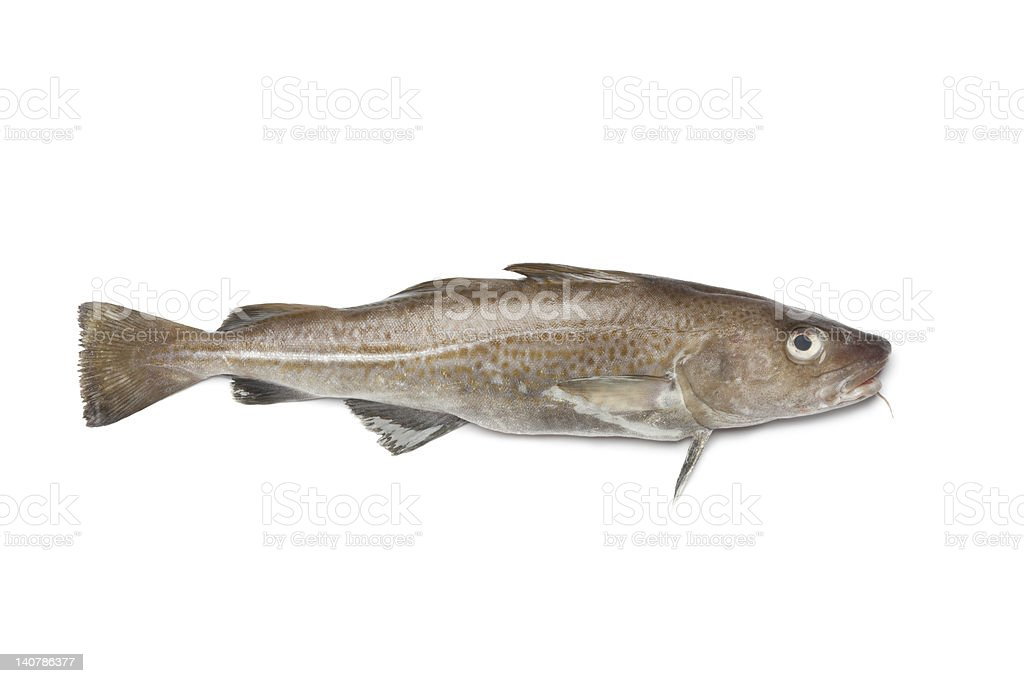 One fresh Atlantic cod fish on a white background stock photo
