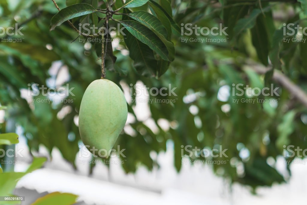 One fresh green mango. royalty-free stock photo