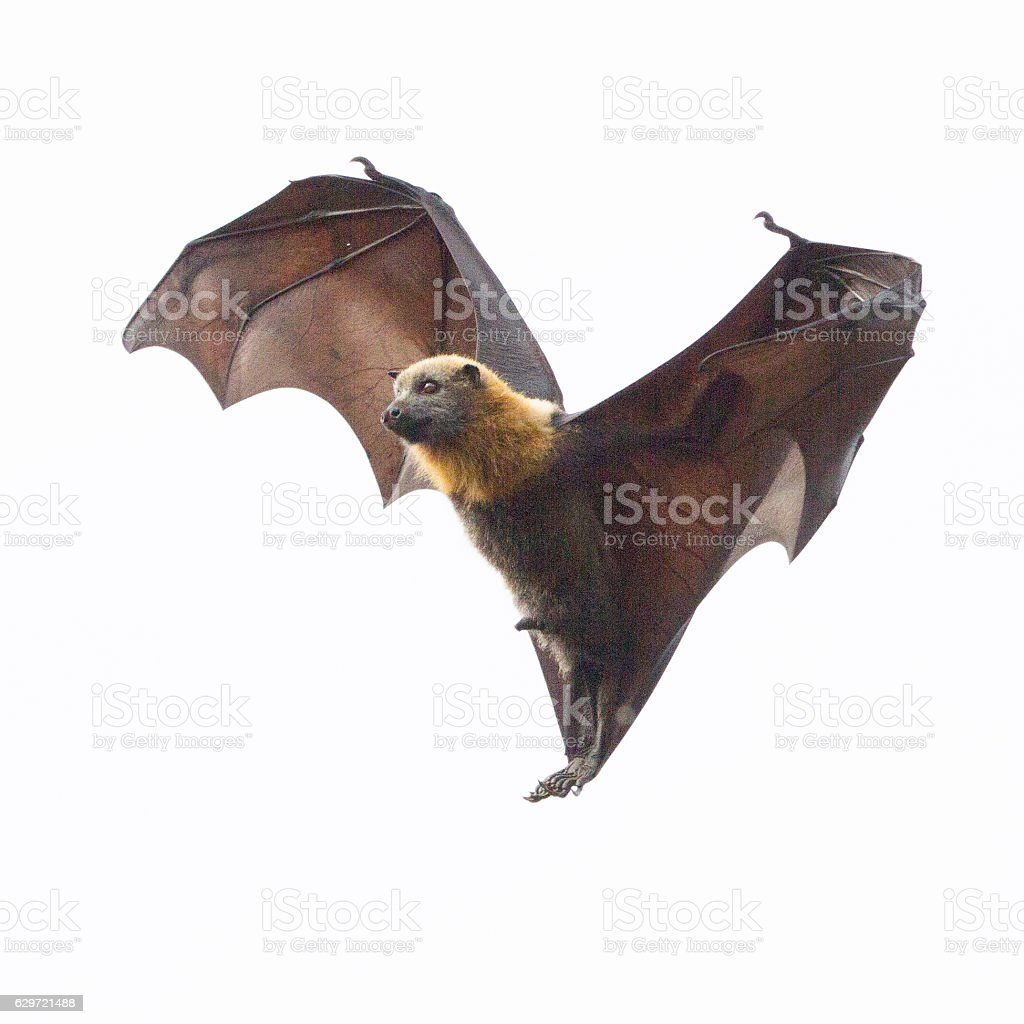One Fruit Bat Hanging in Mid Air stock photo