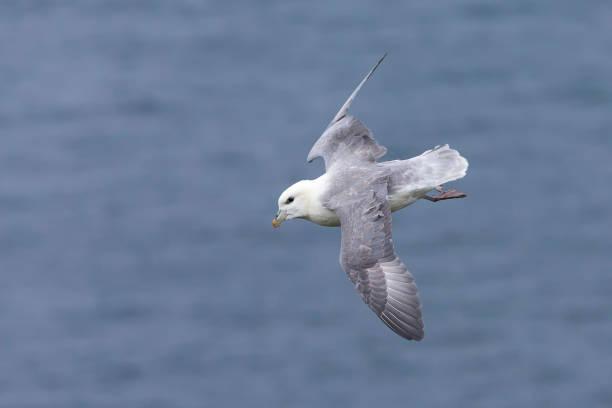 Un vol plané de Fulmar boréal sur le vent le long d'une falaise sur les îles Shetland - Photo