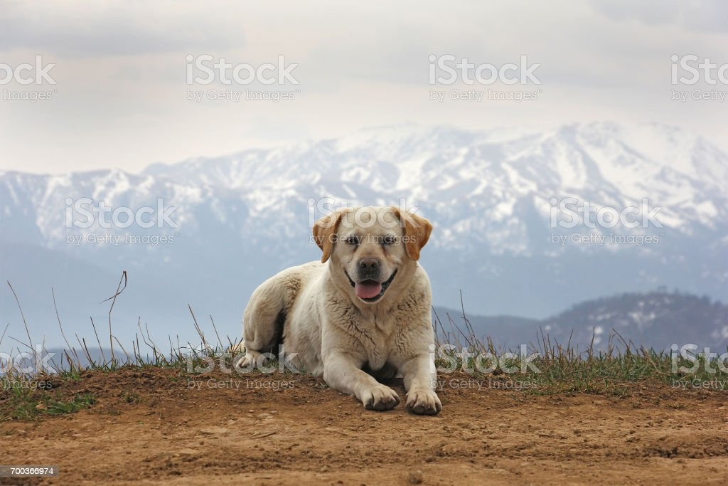 one fun dog in the background of the mountains, front view stock photo