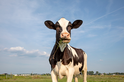 Cow eats blades of grass with open mouth, with crazy expression on face