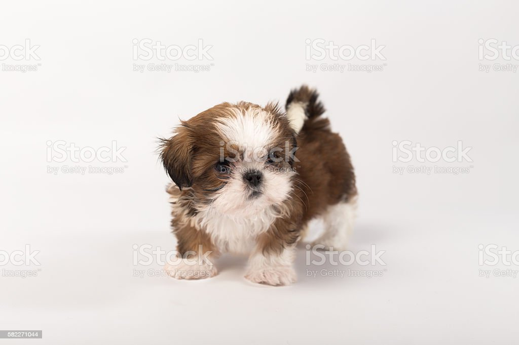 One Funny Shihtzu Puppy On The White Foto De Stock Y Mas Banco De Imagenes De Animal Istock