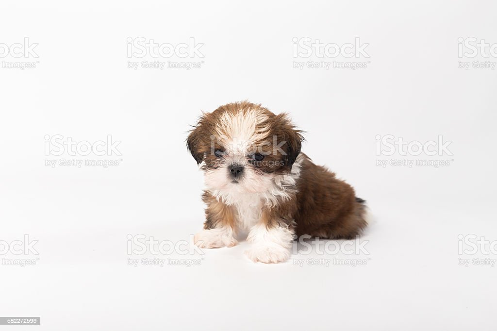 One Funny Shihtzu Puppy On The White Stock Photo Download Image Now Istock