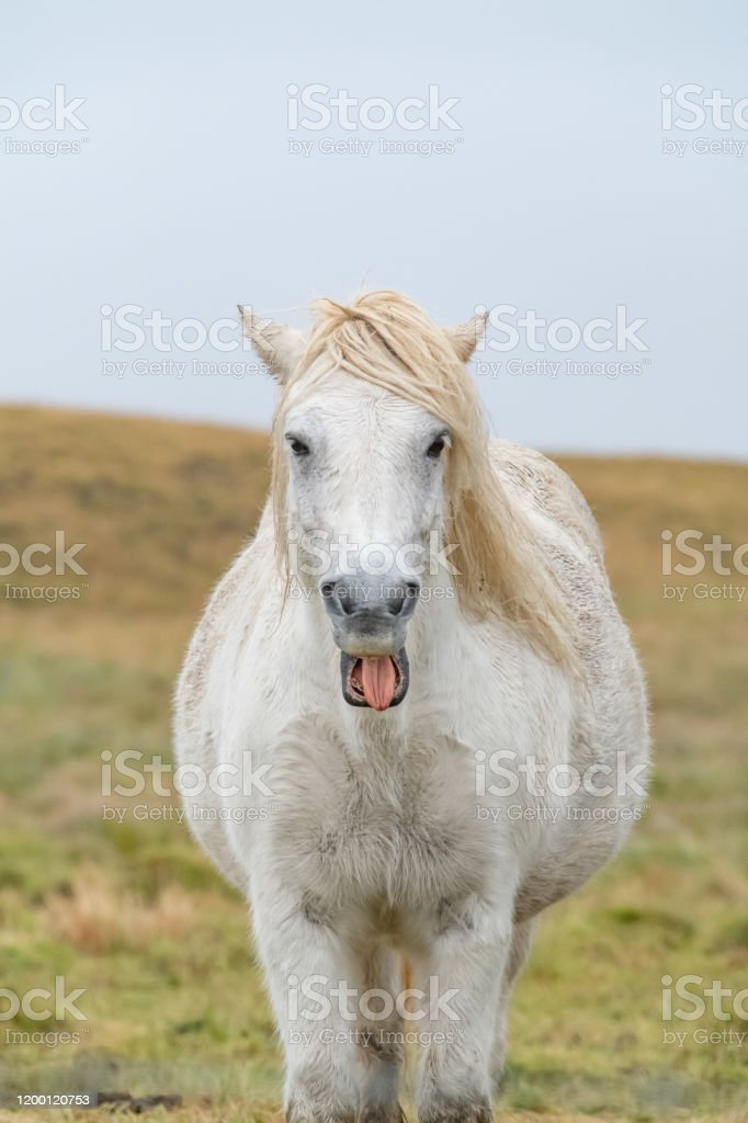 One Funny Smiling Horse In A Peaceful Meadow Iceland Stock Photo Download Image Now Istock