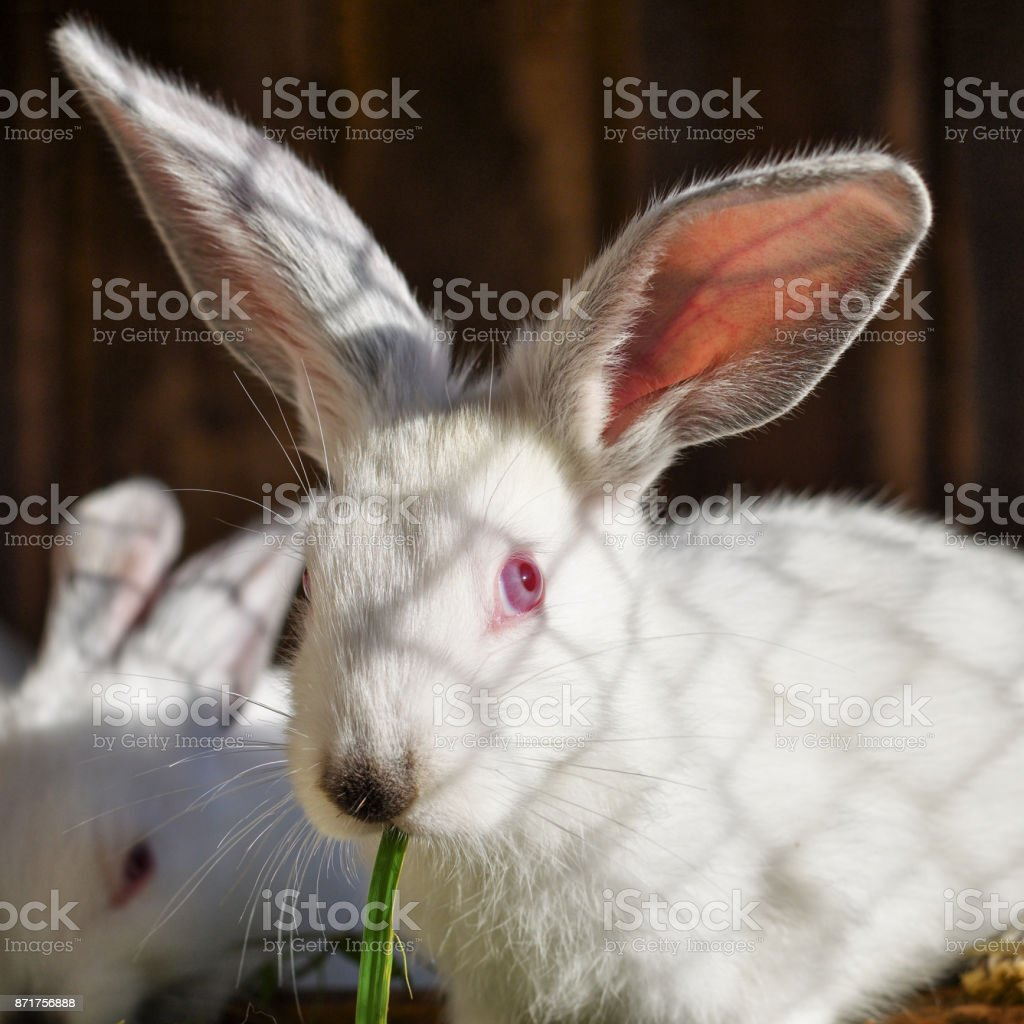 One funny white rabbit with long ears eats green juicy grass in a cage. Close-up, cropping a square. stock photo