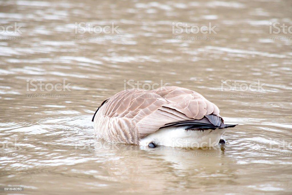 one goose feeding stock photo