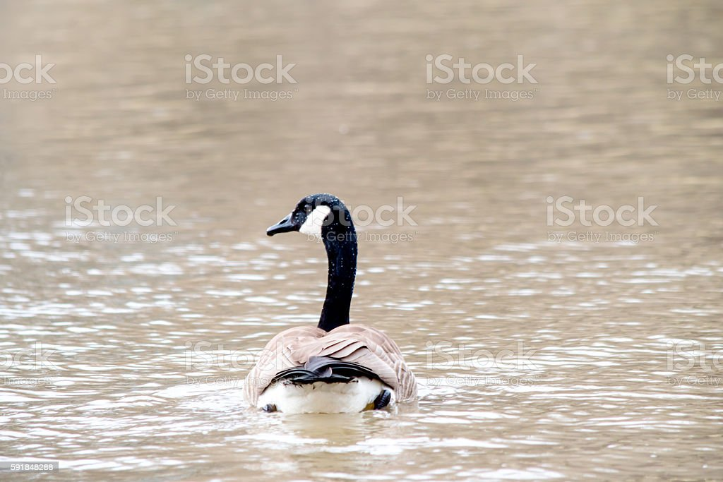 one goose floating backside tail stock photo