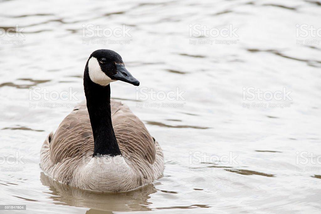 one goose floating stock photo