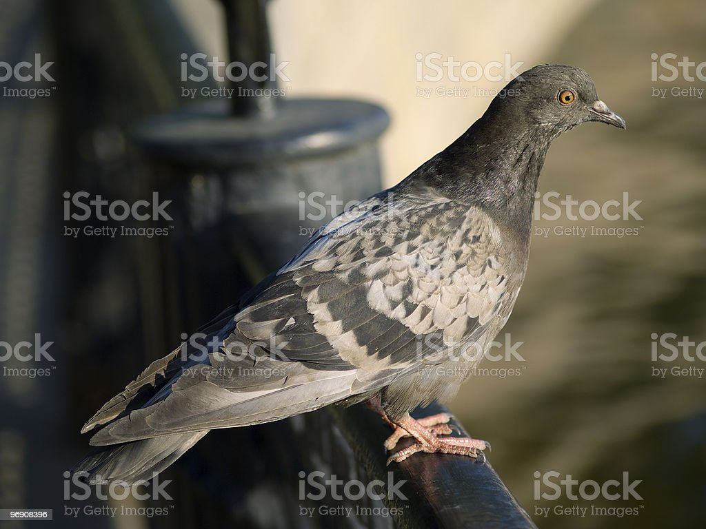 One gray dove royalty-free stock photo