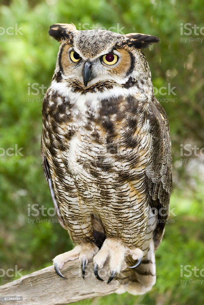 One great horned owl sitting on a branch outdoors stock photo