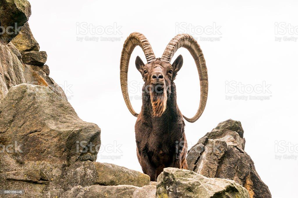 One great Siberian ibex stock photo
