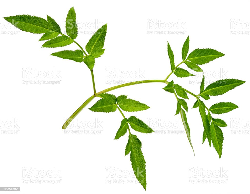 one green astilbe leaf without flower, isolated on white background stock photo