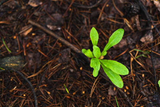 one green sprout growing in a brown soil - resilience concept stock photos and pictures