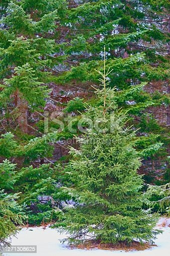 green spruces close-up and one green spruce in the foreground