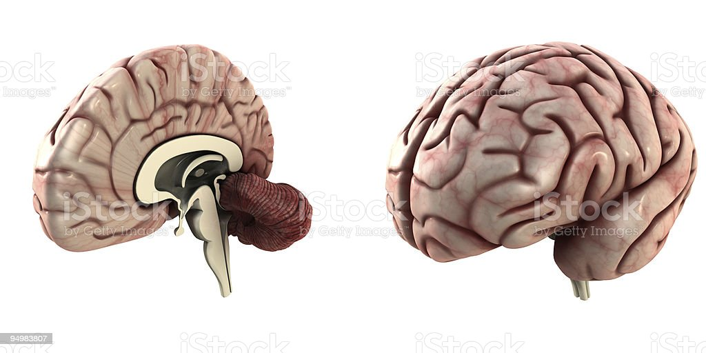 One half and a whole brain stock photo
