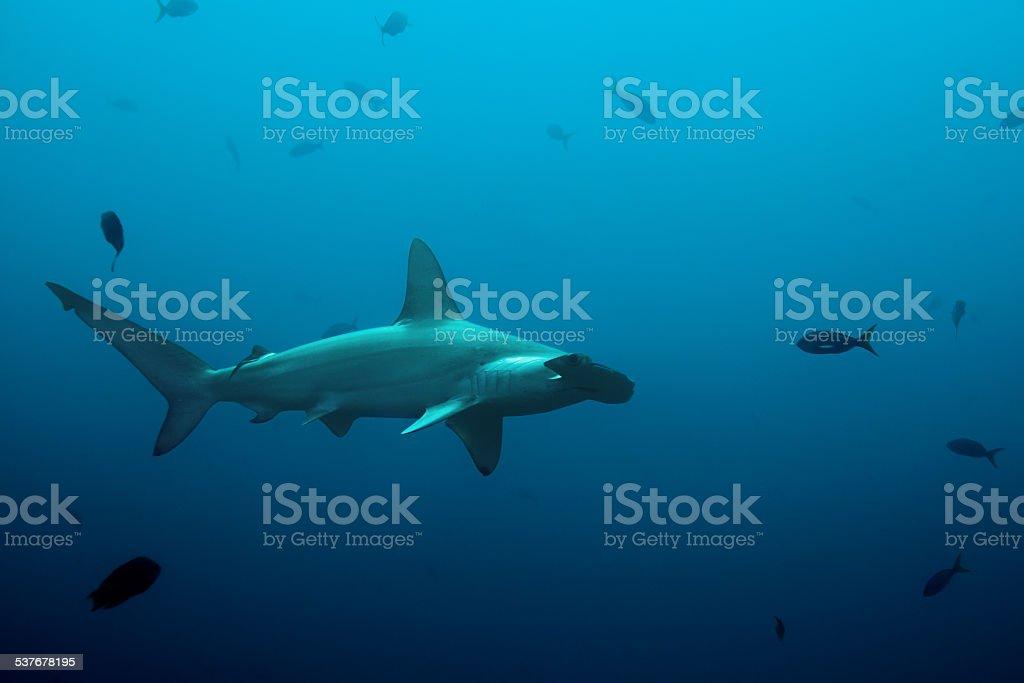 One hammerhead shark swimming in the ocean stock photo